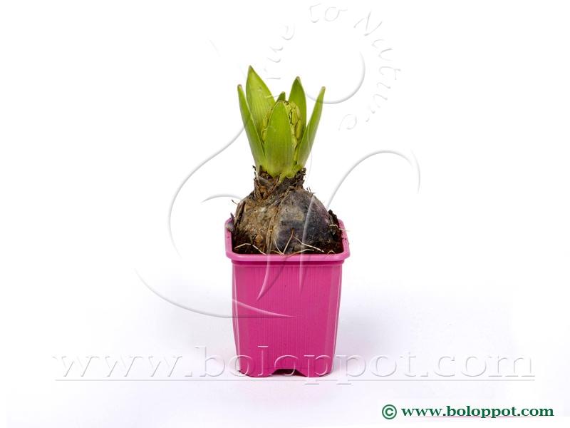 Hyacinthus Pink Pearl 7 cm gekleurde pot