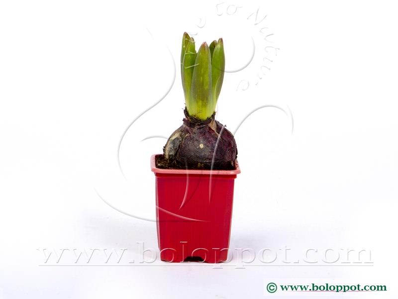 Hyacinthus Jan Bos 7 cm gekleurde pot