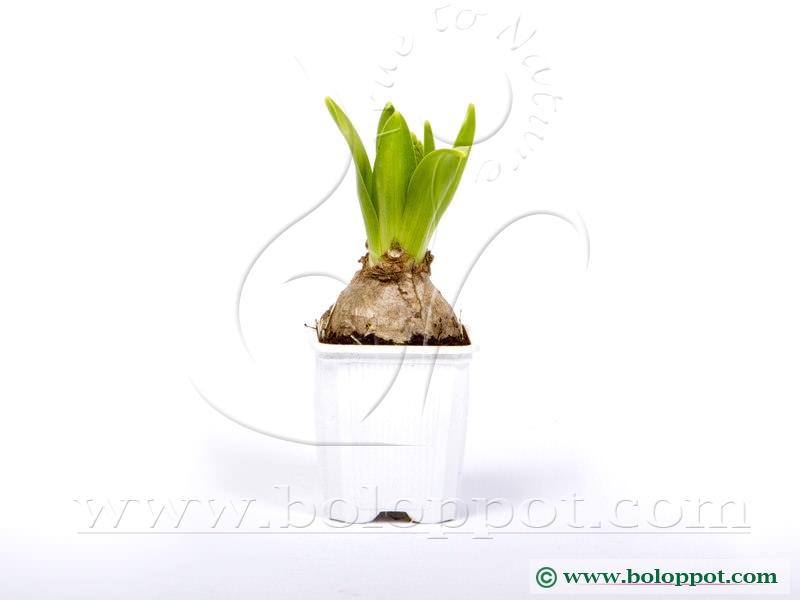 Hyacinthus White Pearl 7 cm gekleurde pot