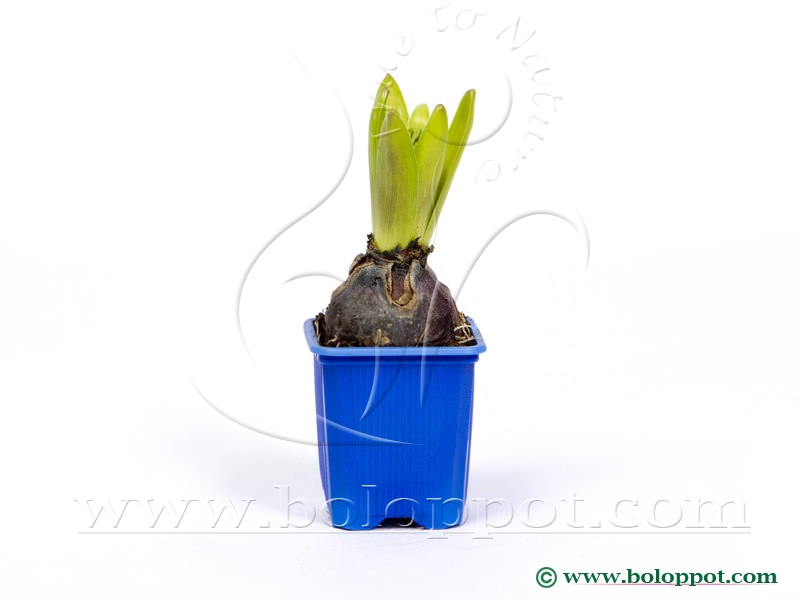 Hyacinthus Blue Pearl 7 cm gekleurde pot
