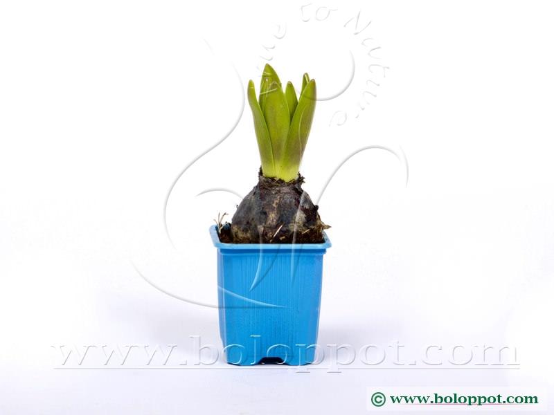 Hyacinthus Delft Blue 7 cm gekleurde pot