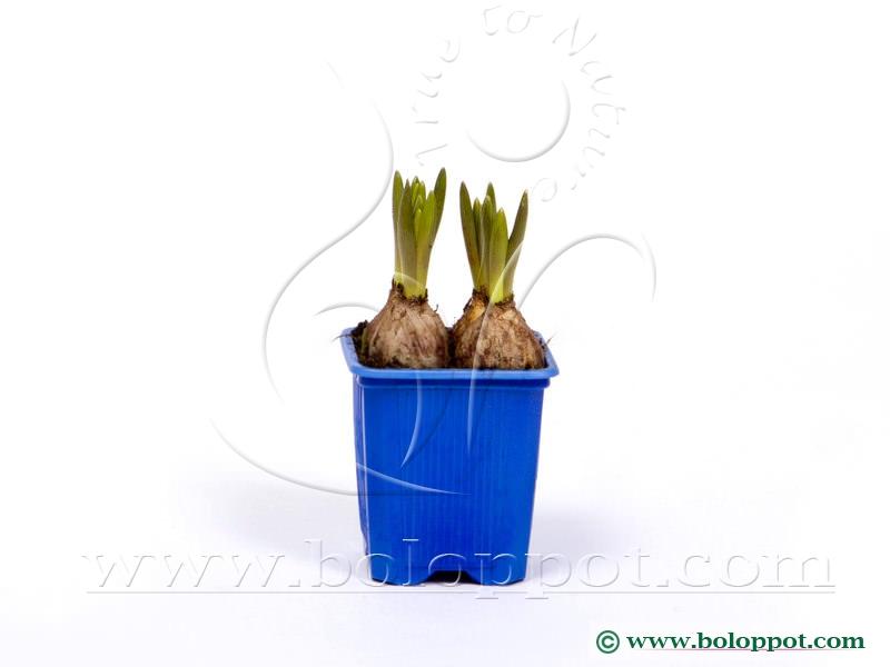 Muscari Armeniacum 7 cm gekleurde pot