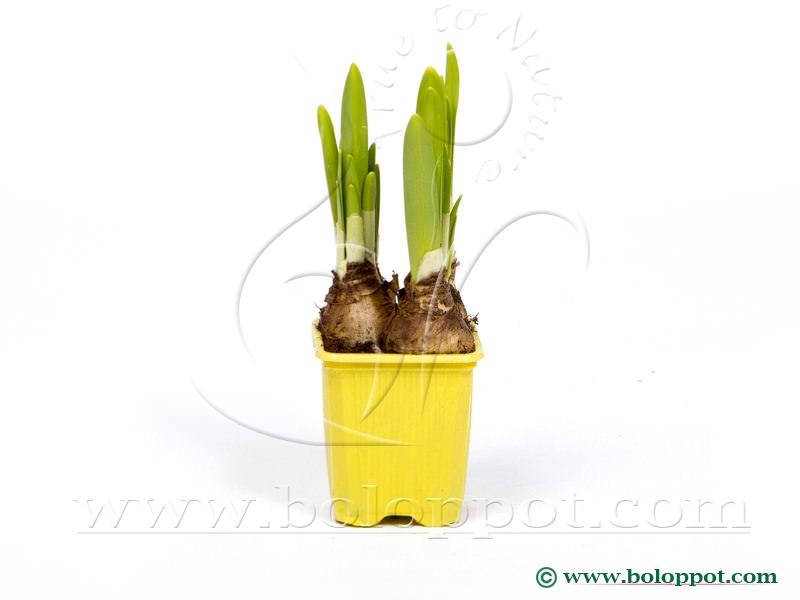 Narcissus Tête à Tête 7 cm gekleurde pot