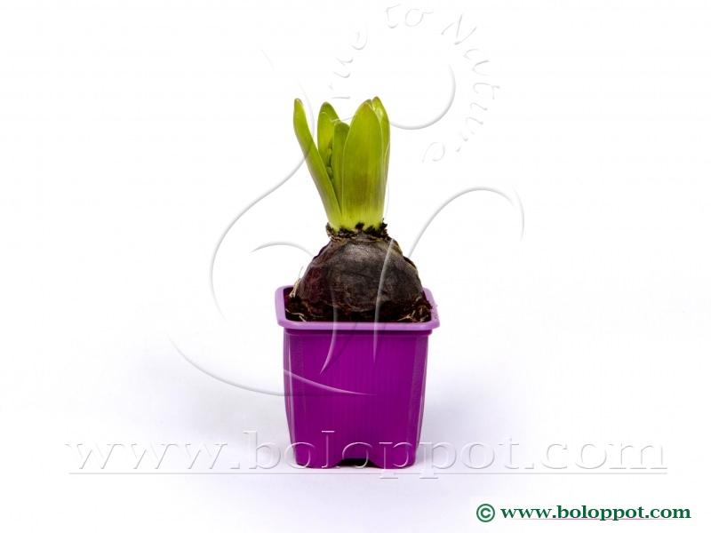 Hyacinthus Splendid Cornelia 7 cm gekleurde pot