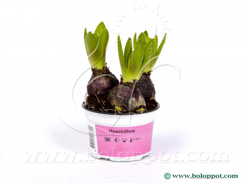 Hyacinthus Pink Pearl 12 cm bedrukte gekleurde pot