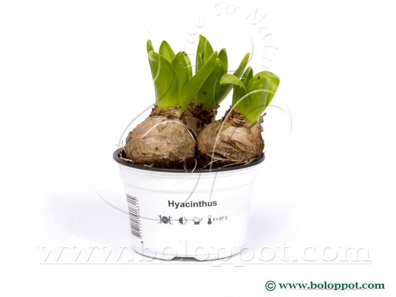 Hyacinthus White Pearl 12 cm bedrukte gekleurde pot
