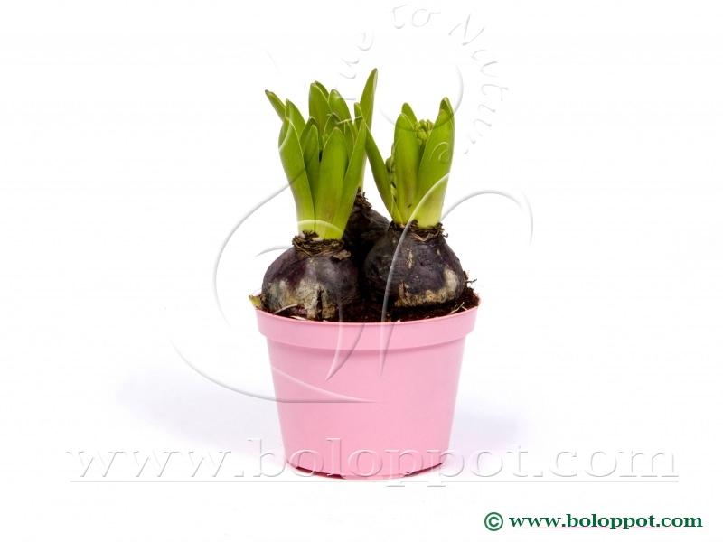 Hyacinthus Pink Pearl 12 cm gekleurde pot