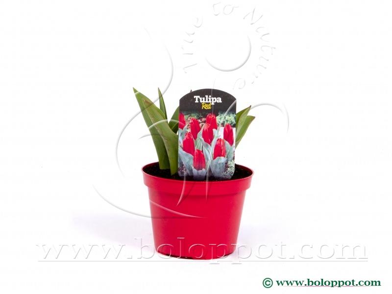 Tulipa Red 12 cm gekleurde pot