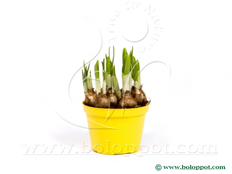 Narcissus Tête à Tête 12 cm gekleurde pot