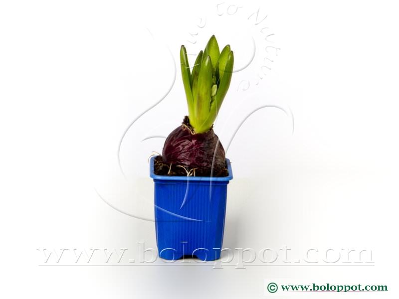 Hyacinthus Blue Star 7 cm gekleurde pot