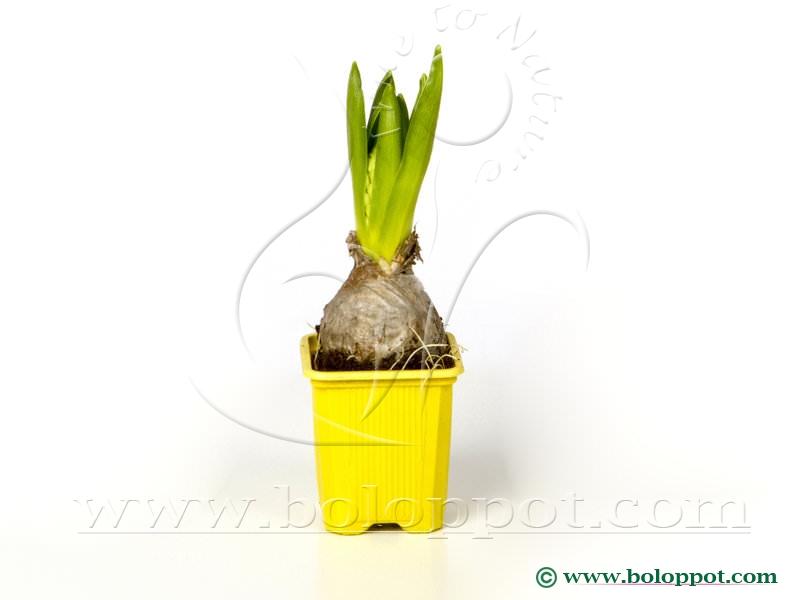 Hyacinthus Gipsy Princess 7 cm gekleurde pot