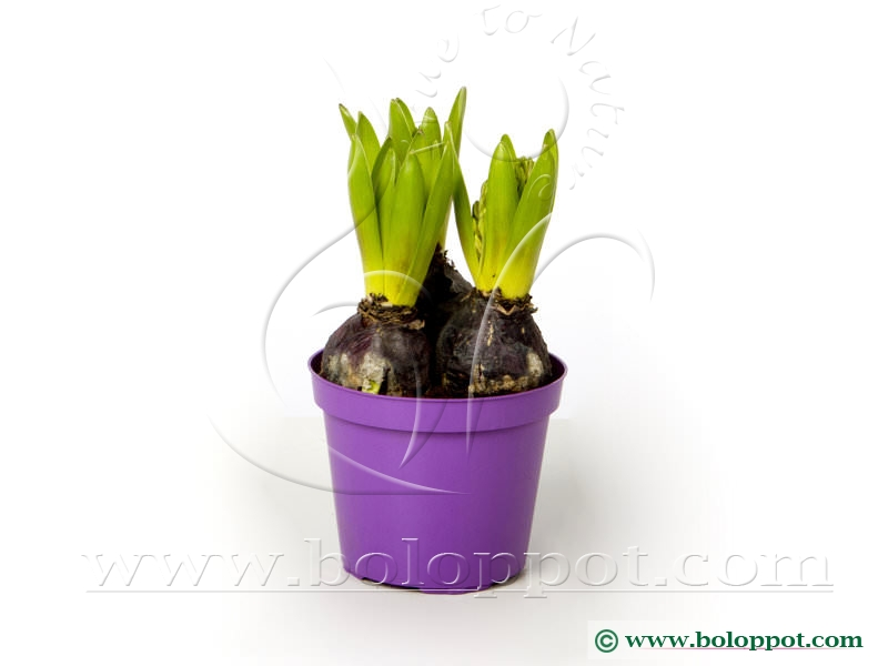 Hyacinthus Splendid Cornelia 12 cm gekleurde pot