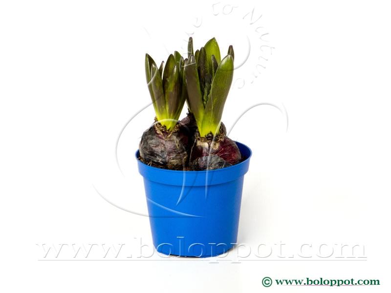 Hyacinthus Blue Star 12 cm gekleurde pot