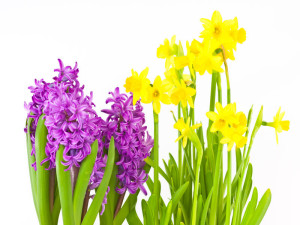 Hyacinthus Narcissus Tete a Tete