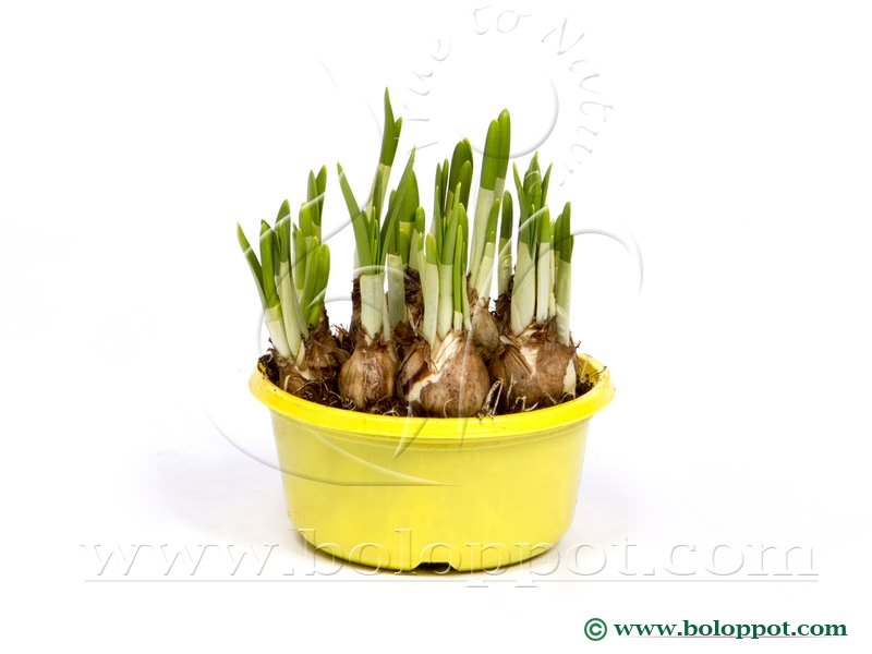 Narcissus Tête à Tête 16 cm gekleurde pot