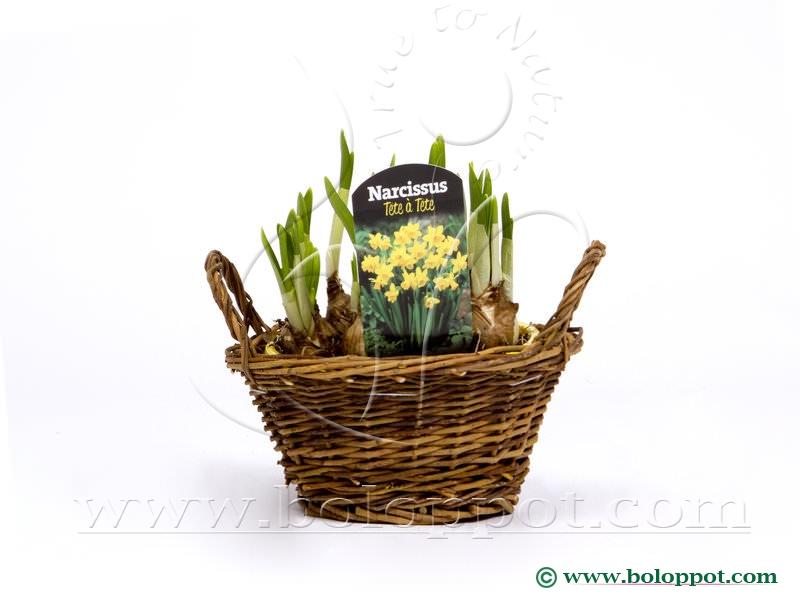 Narcissus Tête à Tête wilgenmandje