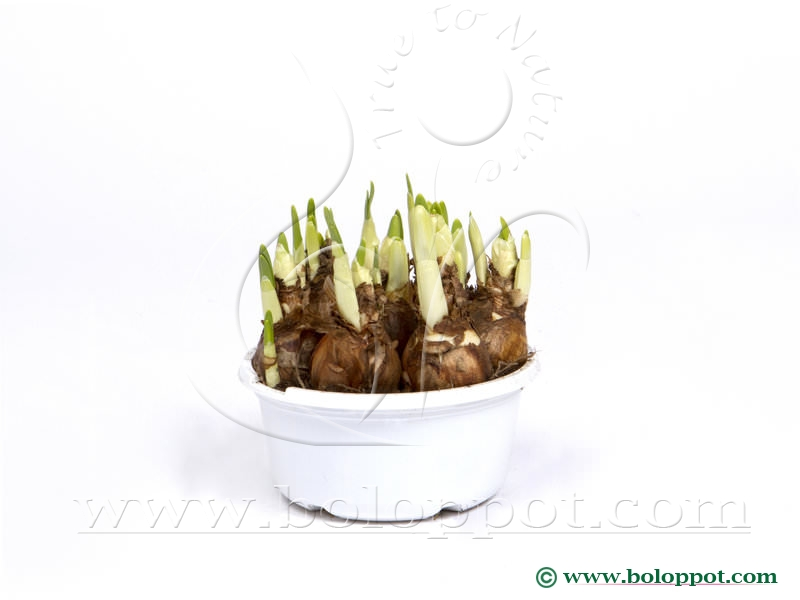 Narcissus Bridal Crown 16 cm gekleurde pot