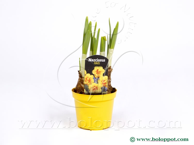 Narcissus Tahiti 9 cm gekleurde pot