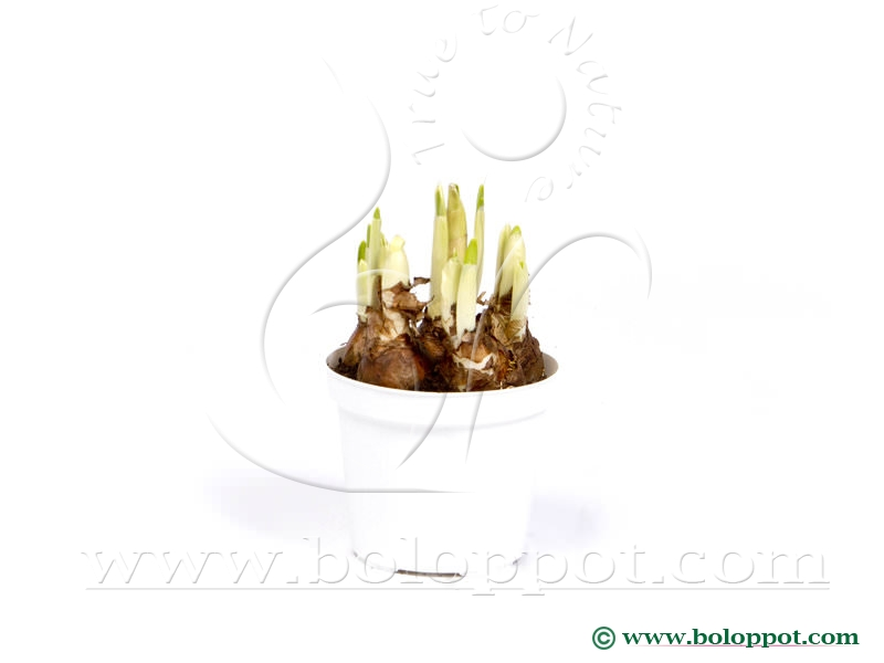 Narcissus Bridal Crown 12 cm gekleurde pot