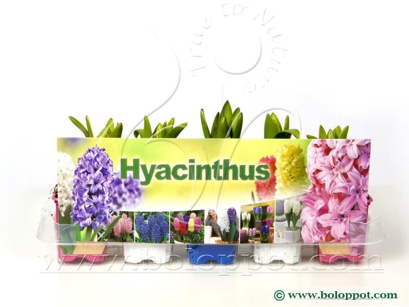 Hyacinthus gemengd 7 cm gekleurde pot